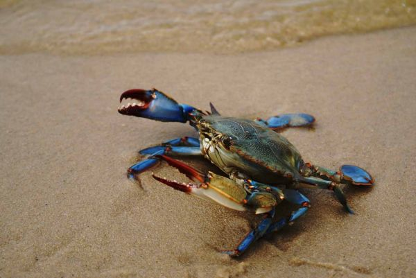 Blue crab on the beach in New Jersey