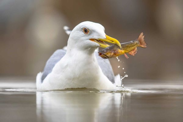 Seagull catching a fish in a saltwater marsh